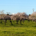 von blühenden Mandelbäumen