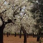 Und immer wieder Mandelbäume
